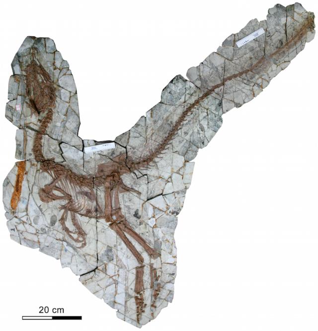 Sinocalliopteryx. Fuente: PLoS ONE