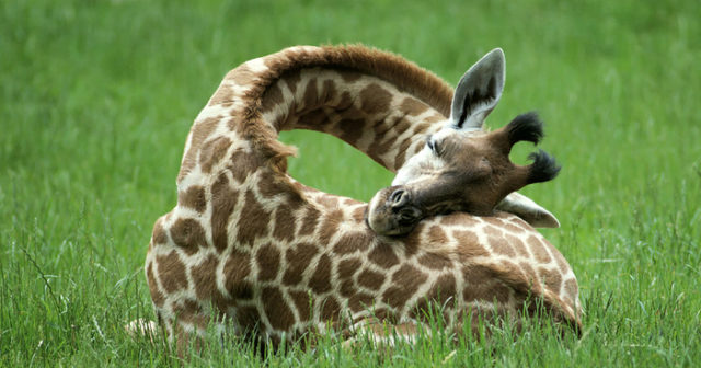 sleeping-giraffes-fb__700