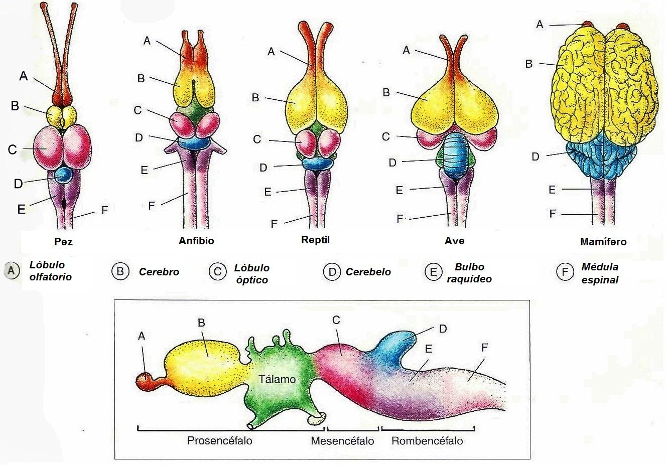 Sistemas nerviosos: el tronco encefálico y el cerebelo - Cuaderno de ...