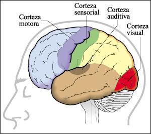 órganos delos sentidos y su función