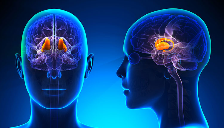 Sistemas nerviosos: el tálamo y el hipotálamo