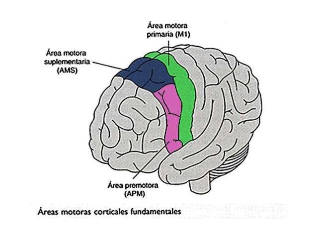 Sistemas nerviosos: las áreas motoras - Cuaderno de Cultura Científica