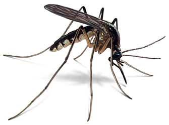 Historias de la malaria: El mosquito