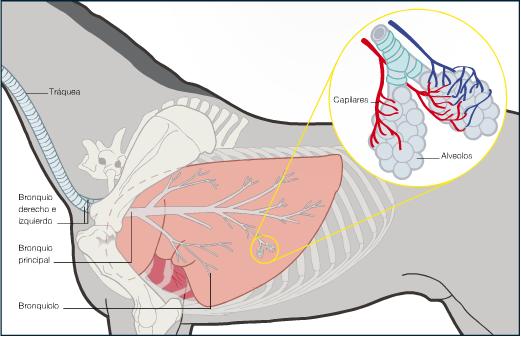 El pulmón de los mamíferos - Cuaderno de Cultura Científica