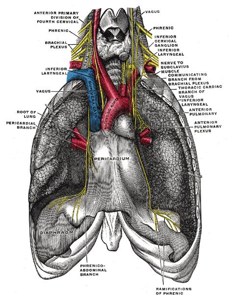 El control nervioso de la respiración