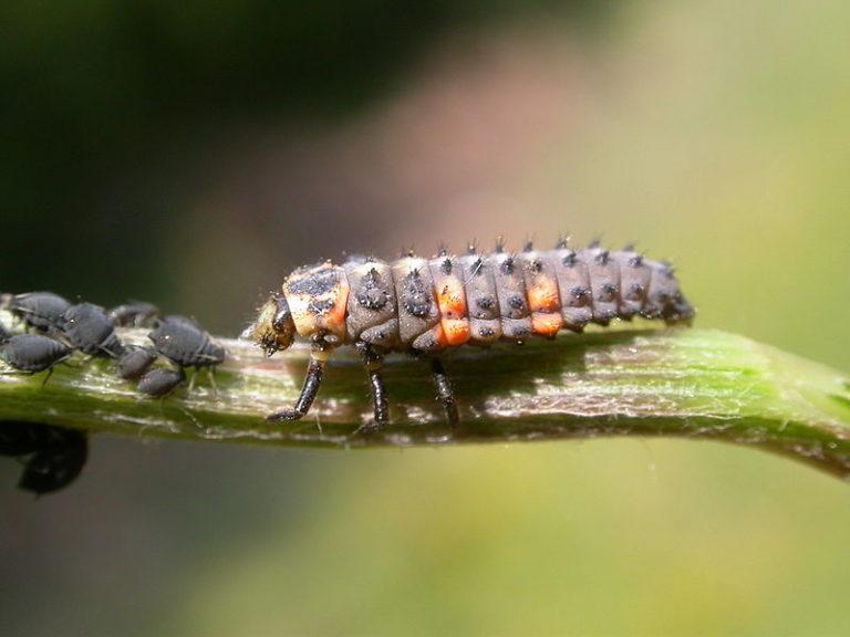 Insectos agrícolas