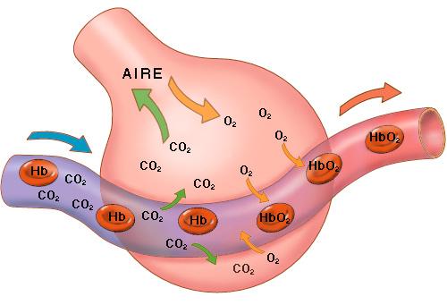 El transporte de dióxido de carbono