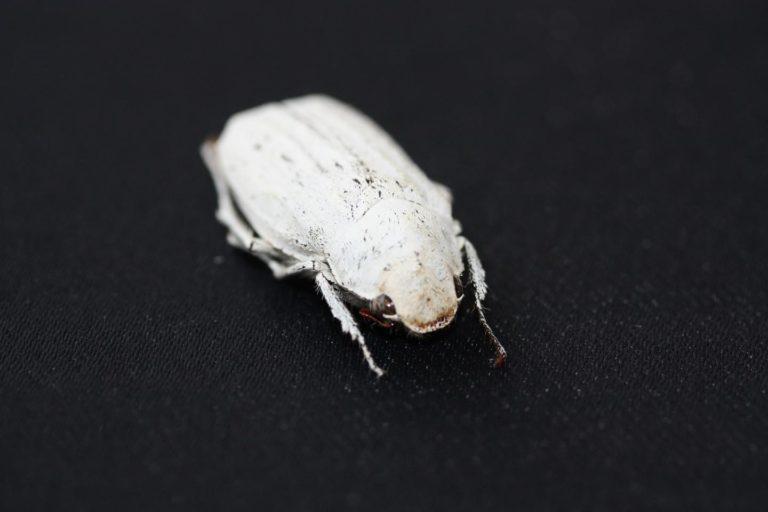Más blanco que un escarabajo blanco