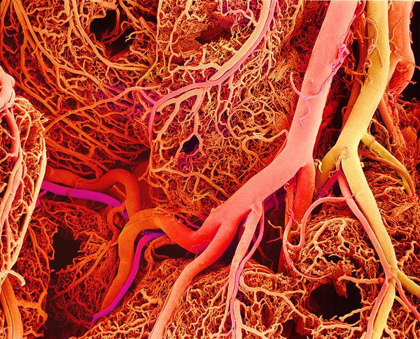 Regulación de la circulación (2): control de la microcirculación
