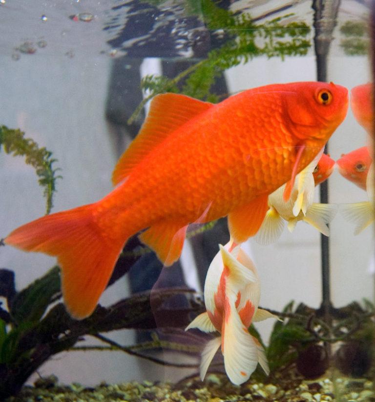 La regulación osmótica de los animales de agua dulce