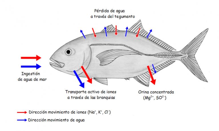 La regulación osmótica e iónica en los teleósteos marinos