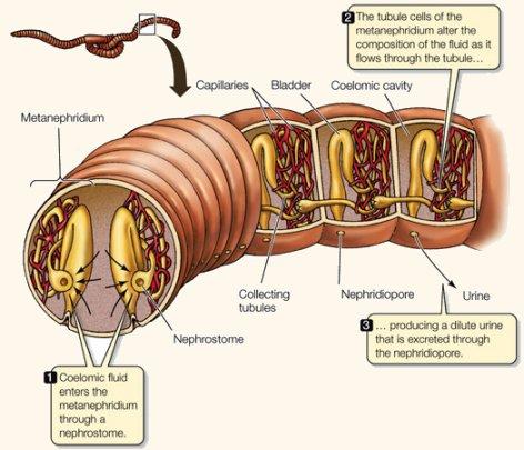 Túbulos excretores: protonefridios y metanefridios
