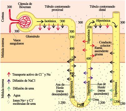 La función del asa de Henle en el riñón de mamíferos
