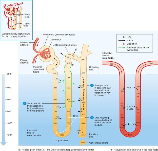 La regulación de la diuresis en mamíferos