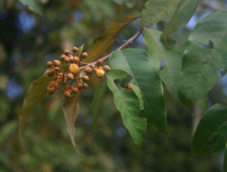 Una planta amazónica podría acabar con las células tumorales hepáticas