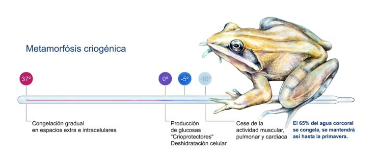Metamorfosis criogénica de la rana del bosque