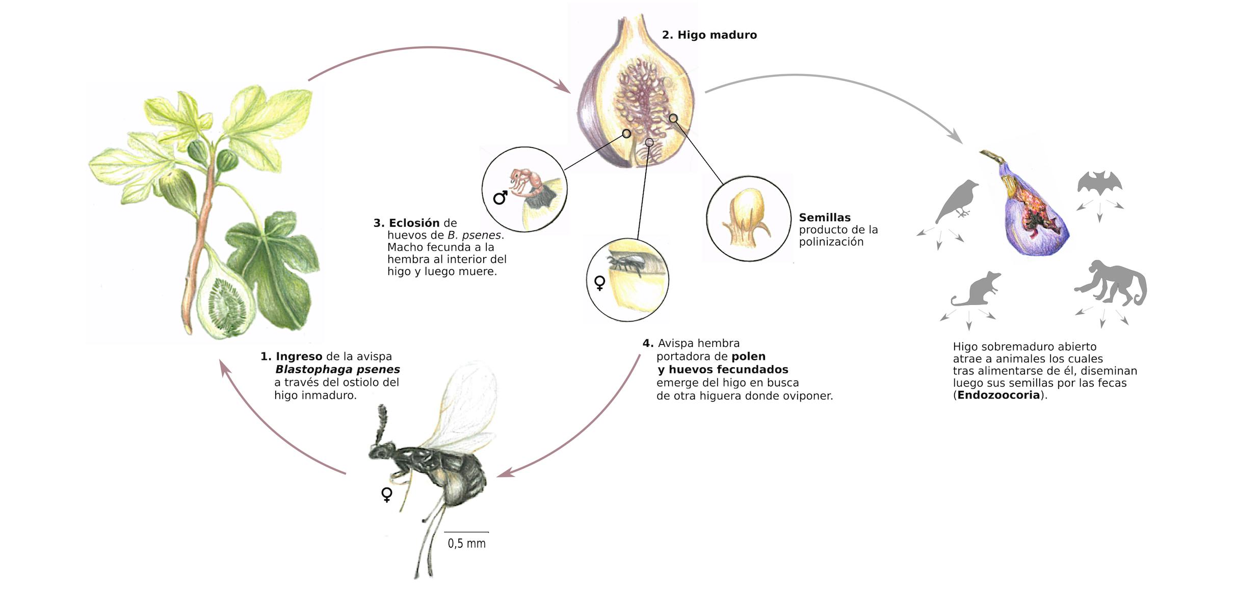 Resultado de imagen de higos con avispas