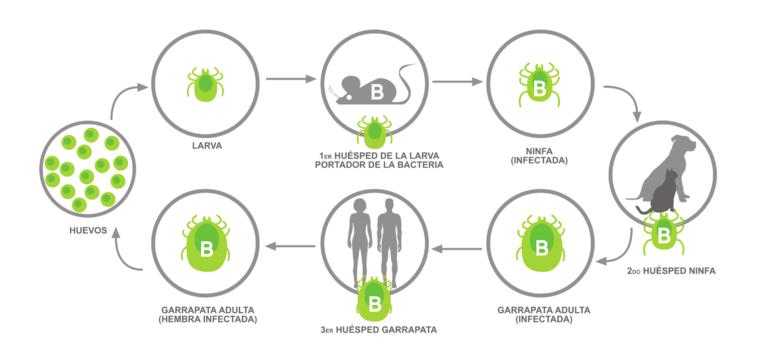 El ciclo de una infección