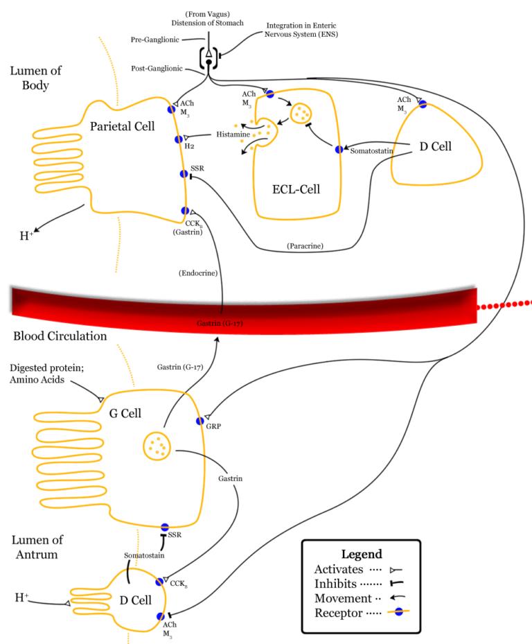 Digestión estomacal (y II): regulación
