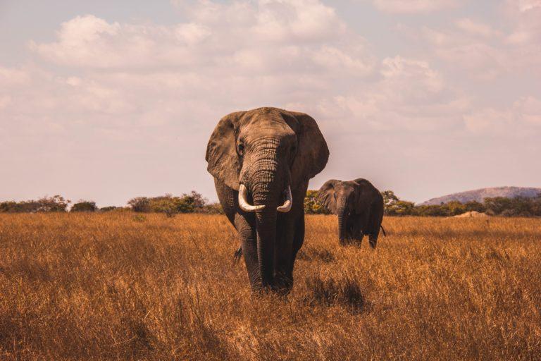 ¿Puede China salvar a los elefantes africanos? Pronto lo descubriremos