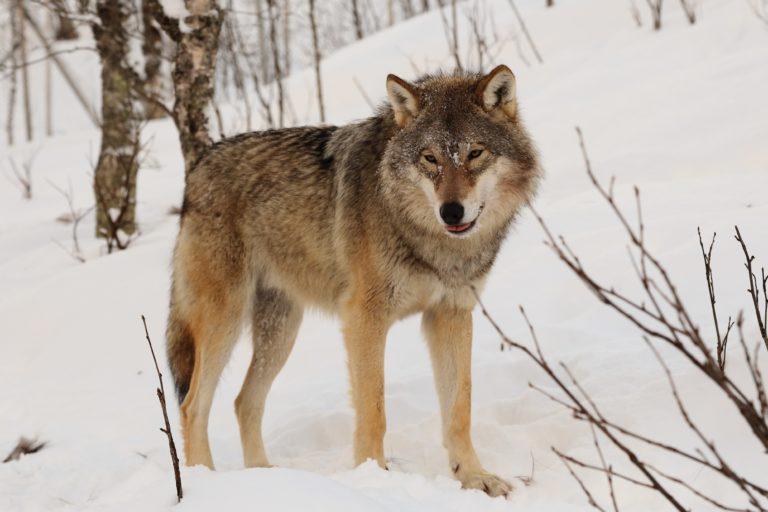 Por qué en Alemania los lobos se sienten más seguros en territorio militar