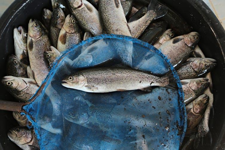 Peces carnívoros, vegetarianos y la acuicultura insostenible