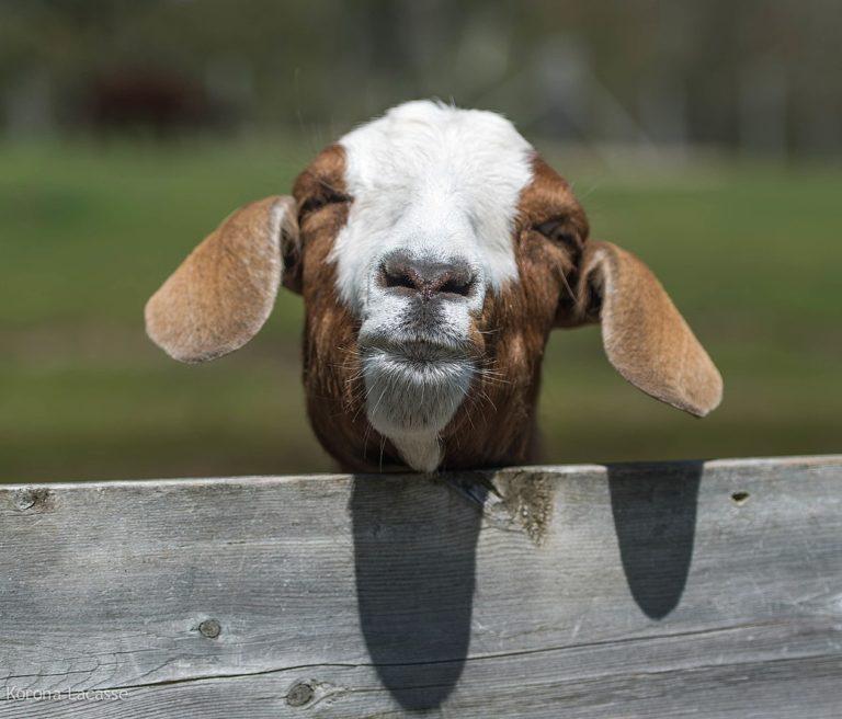 Los científicos que miraban fijamente a las cabras