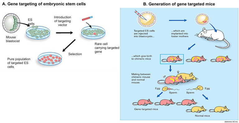 50 años modificando genes (en animales)