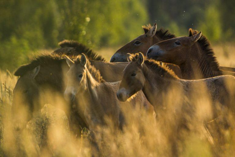 El misterio de los caballos salvajes de Chernóbil