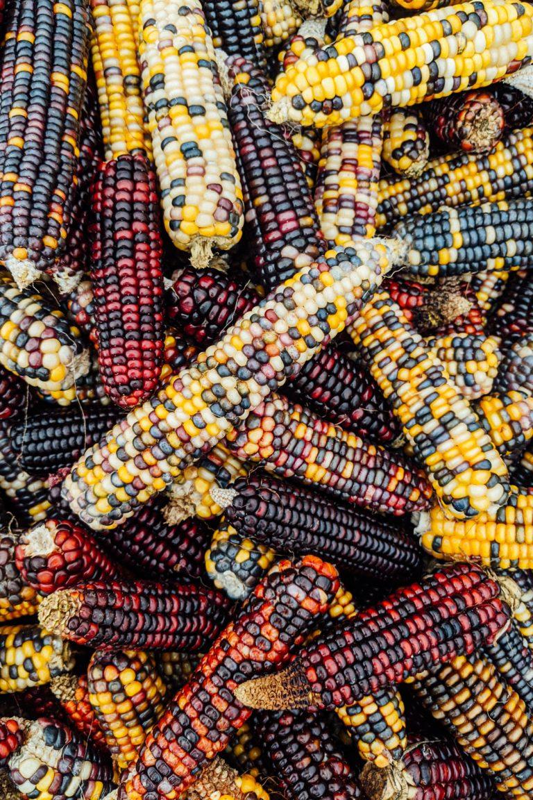 La historia de Cruz Gallastegui y el maíz híbrido
