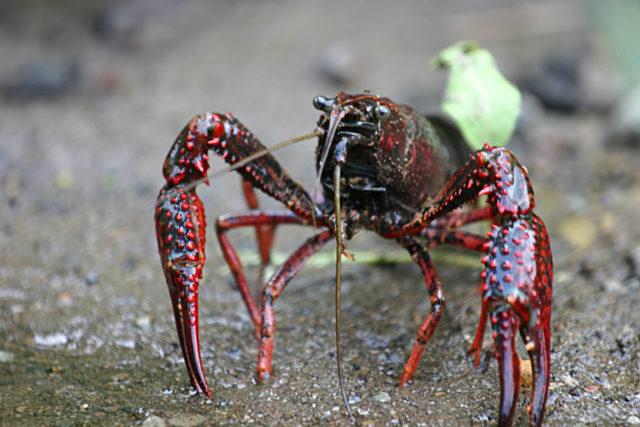 Los invasores: Cangrejos de río