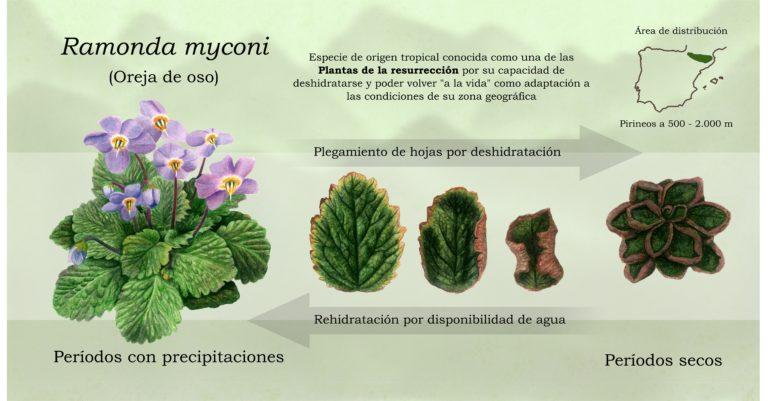 Oreja de oso, la planta que resucita