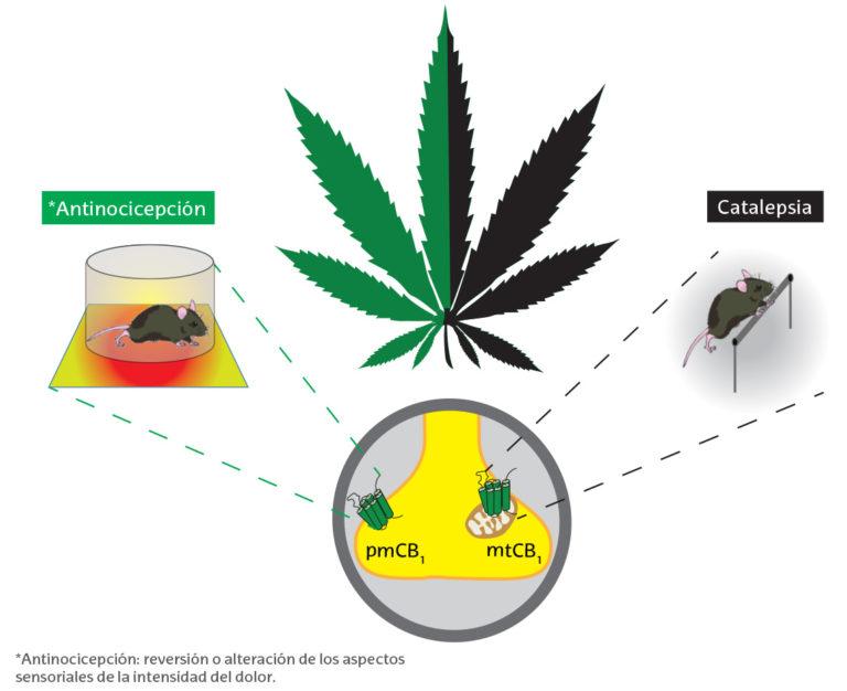 Cannabinoides, una especificidad subcelular de control comportamental