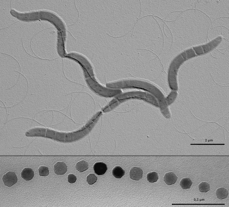 Bacterias magnetotácticas: nanorrobots de origen biológico en la lucha contra el cáncer