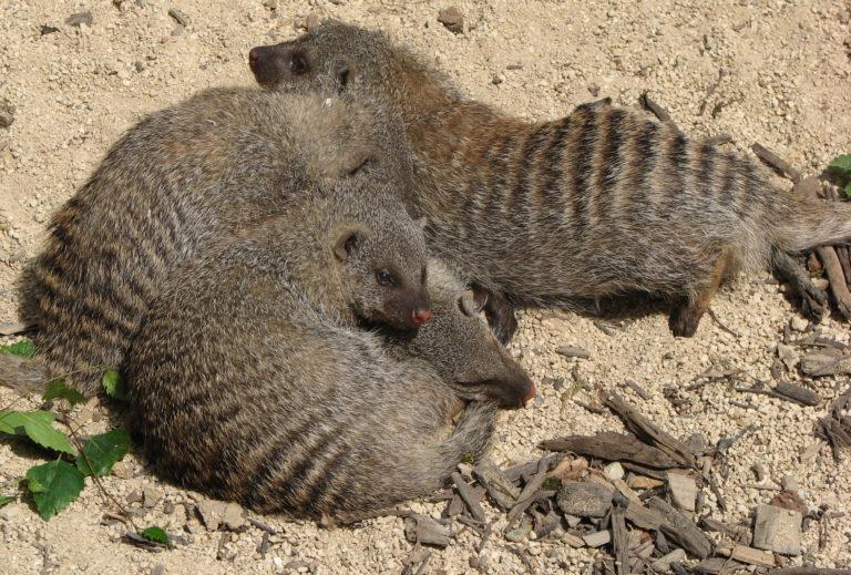El velo de la ignorancia en mangostas