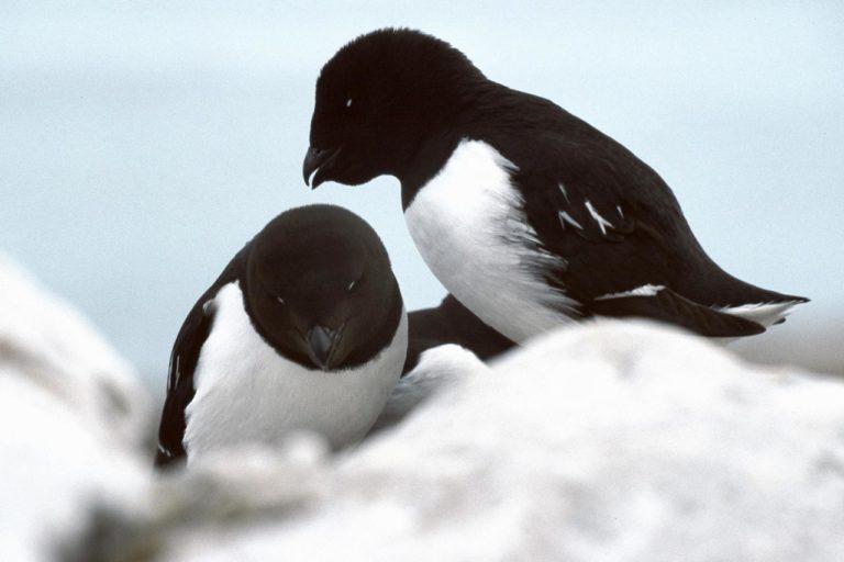La desaparición de los pingüinos
